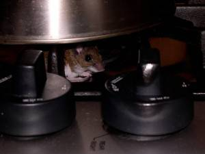 Mouse peaking out from under a pot on the stove.